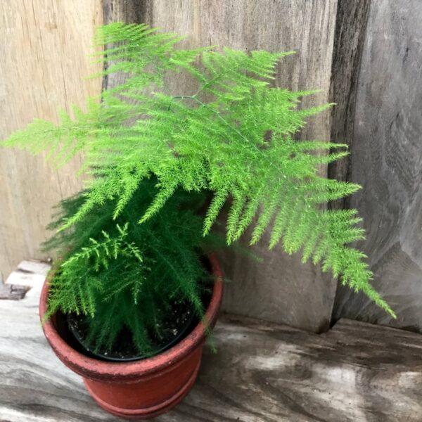 Asparagus setaceus, vuxen planta