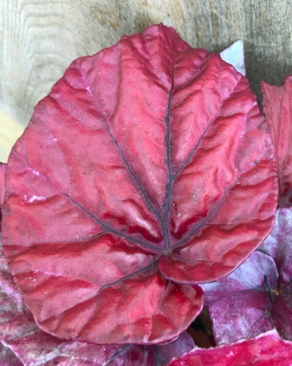 Begonia Beleaf Inca Flame, blad