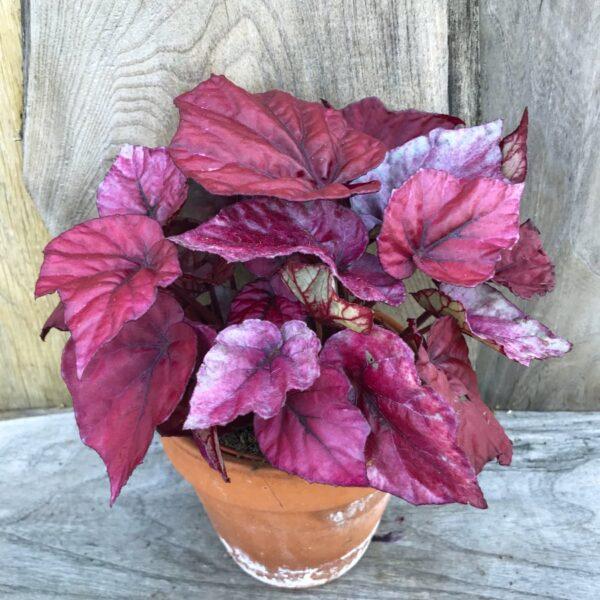 Begonia Beleaf Inca Flame, vuxen planta
