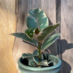 Ficus elastica 'Belize', vuxen planta