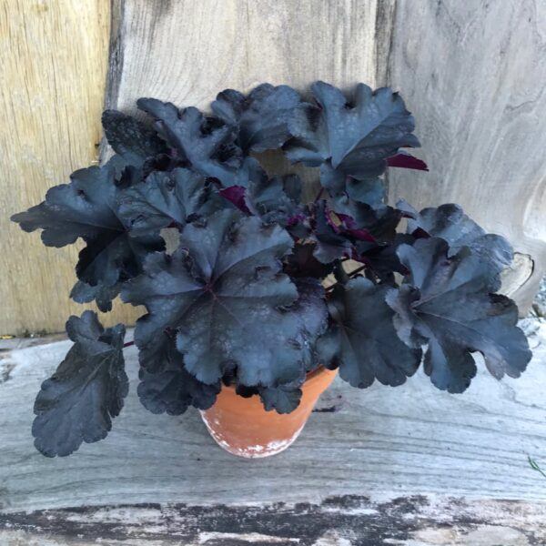 Heuchera Black Pearl, vuxen planta