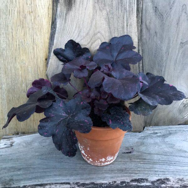 Heuchera Midnight Rose, vuxen planta