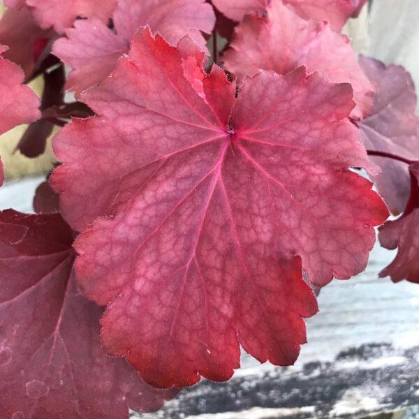 Heuchera Royal Ruby, blad