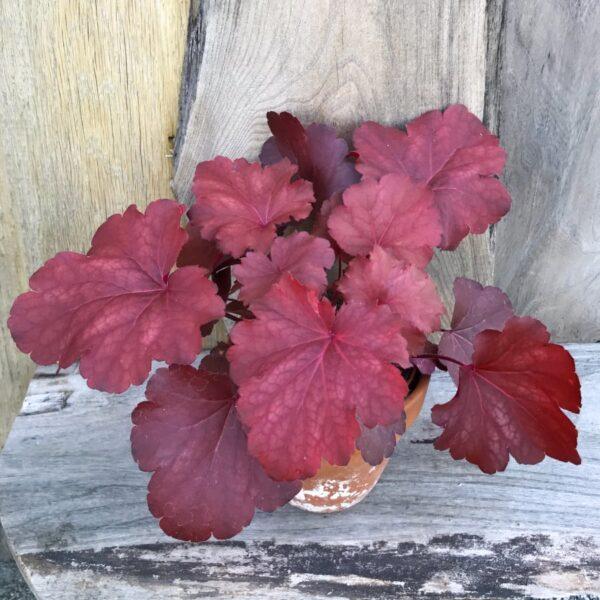 Heuchera Royal Ruby, vuxen planta