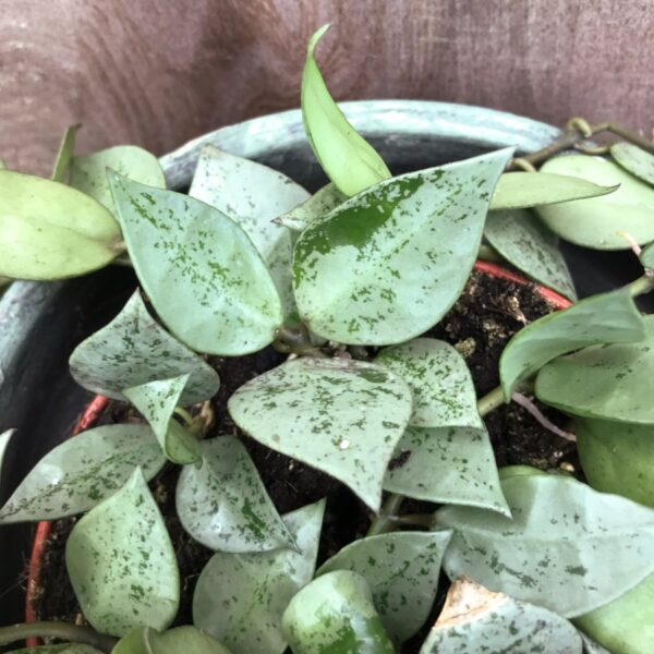 Hoya krohniana, blad