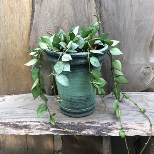 Hoya krohniana, vuxen planta