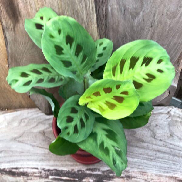 Maranta leuconeura 'Kerchoveana', vuxen planta