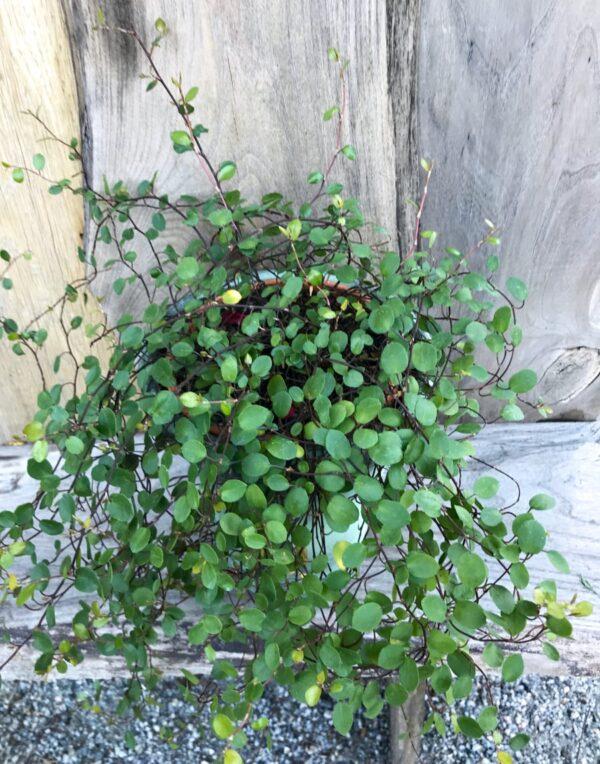 Muehlenbeckia axillaris, extra stor vuxen planta
