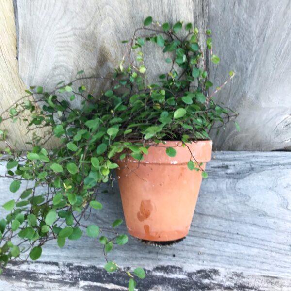Muehlenbeckia axillaris, vuxen planta, sidvy