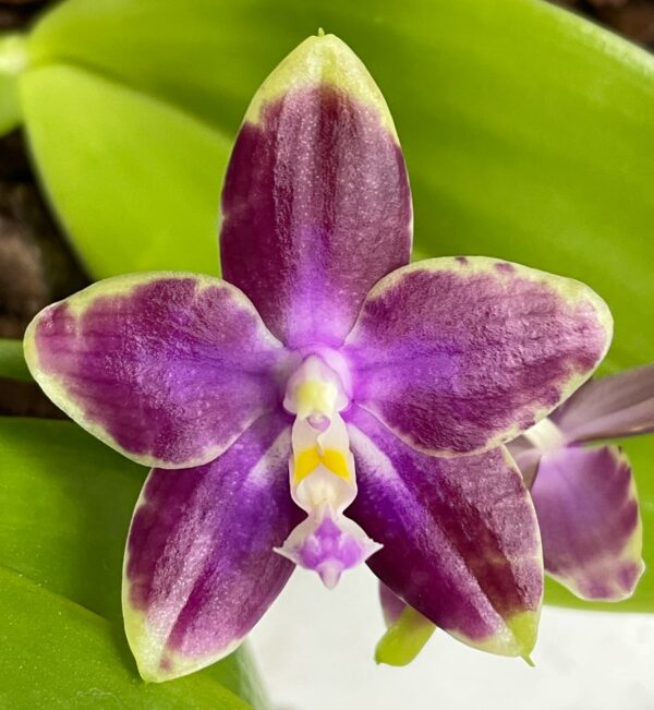 Phalaenopsis Chienlung Color Eagle x Joshua Irwin Ginsberg, blomma