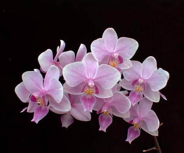 Phalaenopsis Veitchiana, blommor