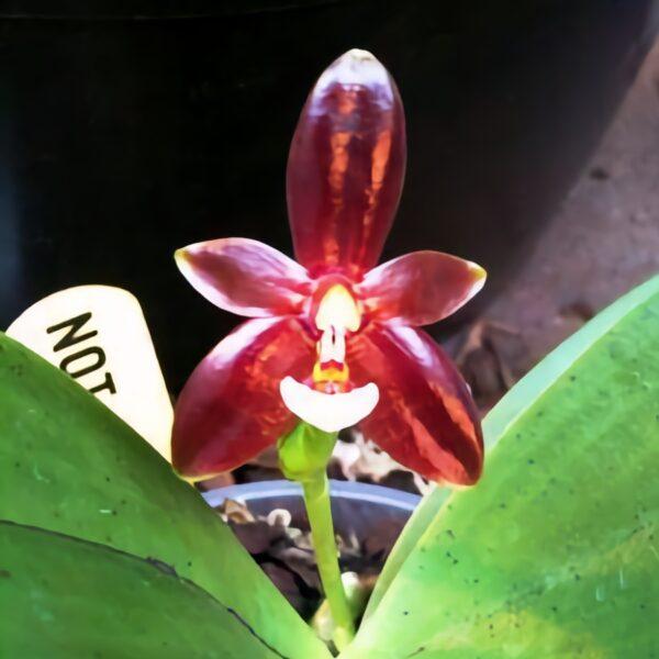 Phalaenopsis cornu cervi 'chattaladae', blomma