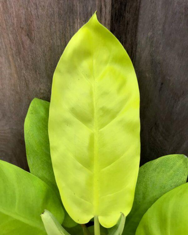 Philodendron Lemon Lime, blad
