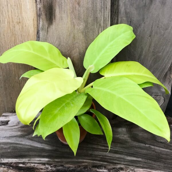 Philodendron Lemon Lime, vuxen planta