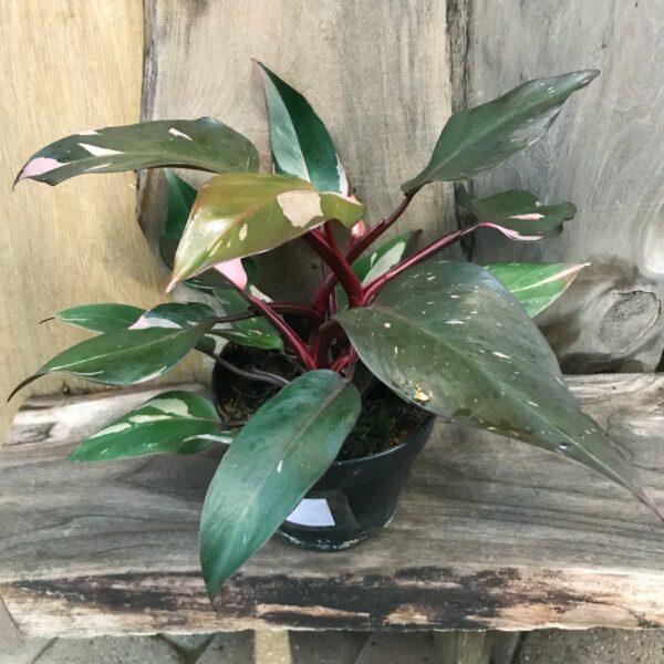 Philodendron Pink Princess, Samlingsexemplar #3