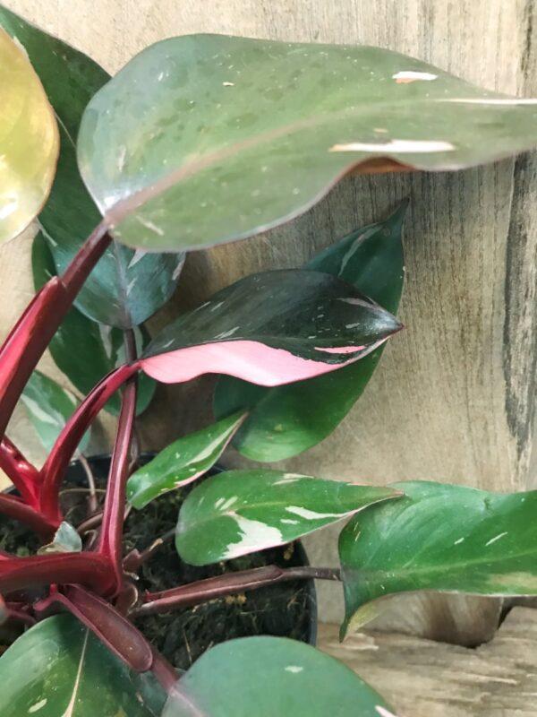 Philodendron Pink Princess, Samlingsexemplar #3, blad
