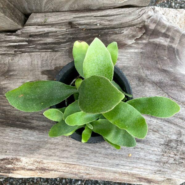 Platycerium grande, ung planta