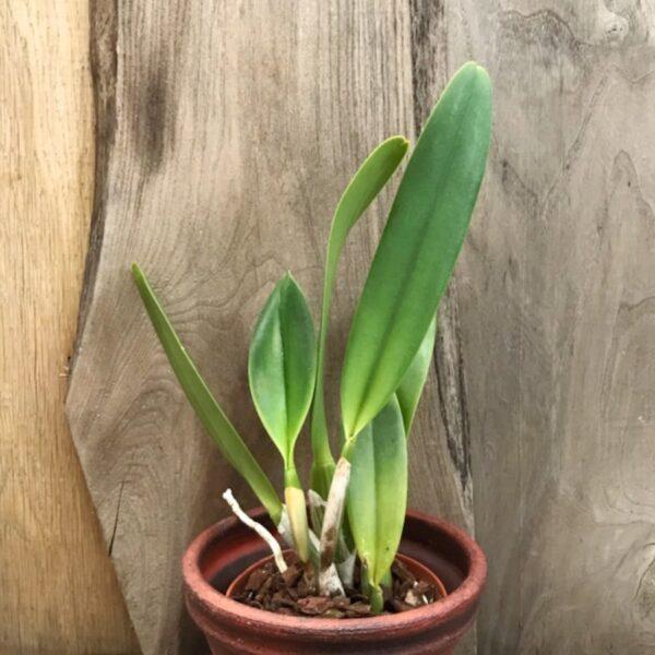 Rhyncholaeliocattleya Cornerstone, Perfection, stor nog att blomma