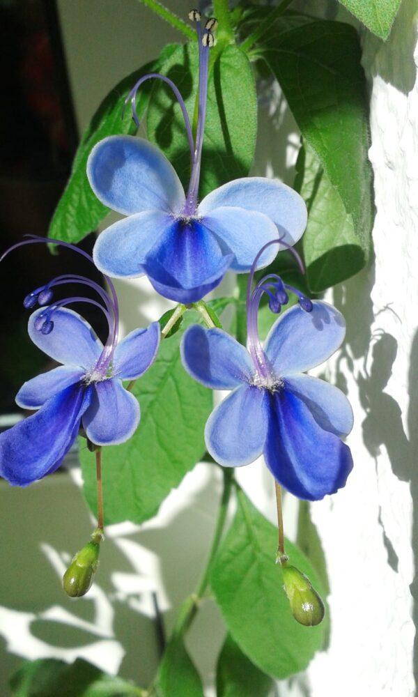 Rotheca myricoides subsp. myricoides, blommor
