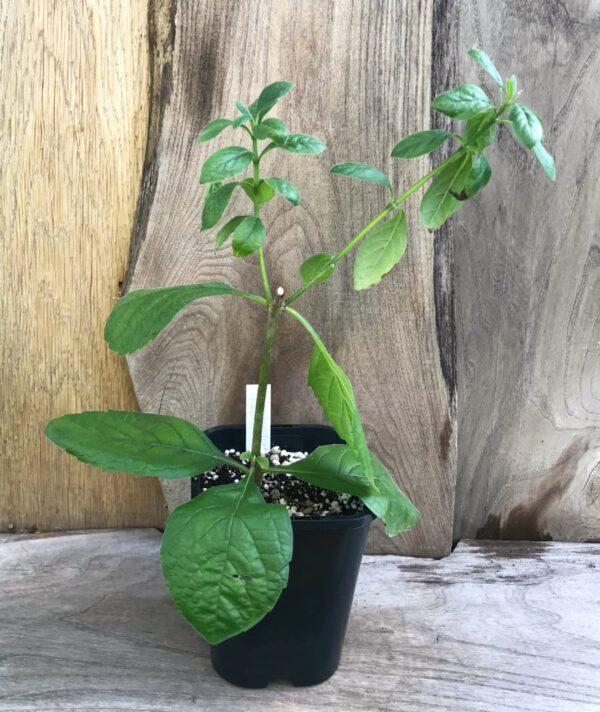 Rotheca myricoides subsp. myricoides, vuxen planta
