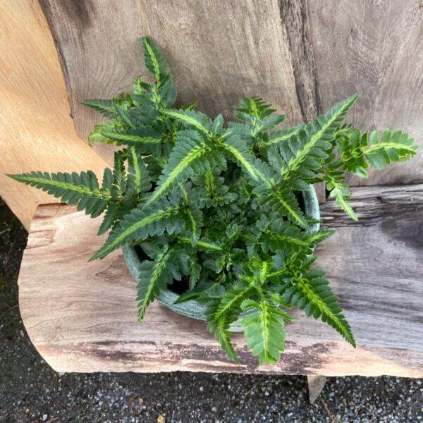 Rumohra adiantiformis, ung planta