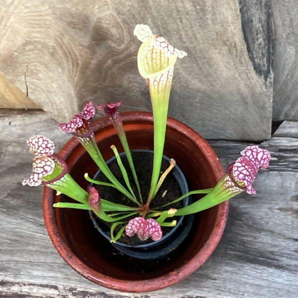 Sarracenia Mississippi, vuxen planta