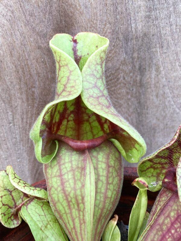 Sarracenia purpurea subsp. venosa, blad