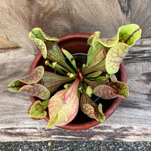 Sarracenia purpurea subsp. venosa, vuxen planta