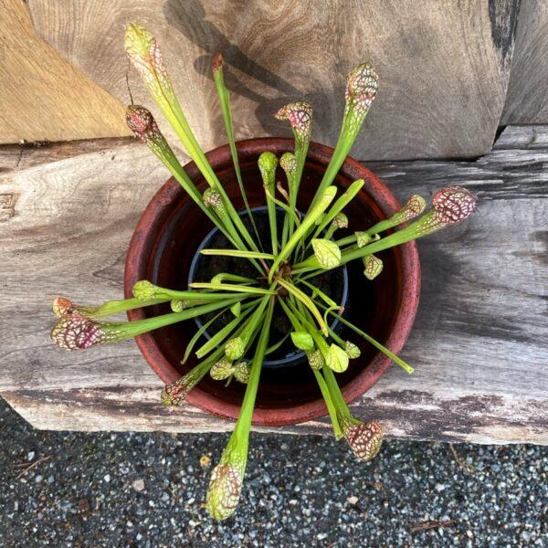 Sarracenia × wrigleyana, vuxen planta