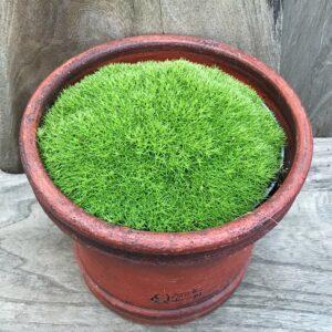 Scleranthus uniflorus, vuxen planta