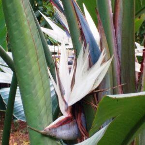 Strelitzia nicolai, blomma