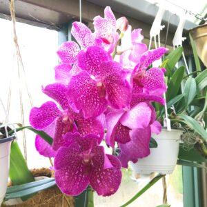 Vanda Magic Pink, blomma