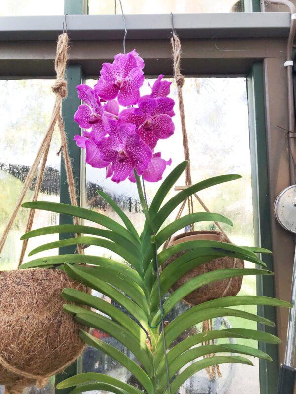 Vanda Magic Pink, blommande planta