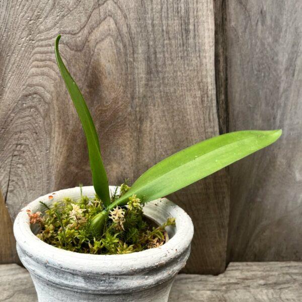 Bulbophyllum A-doribil Candy, ung planta