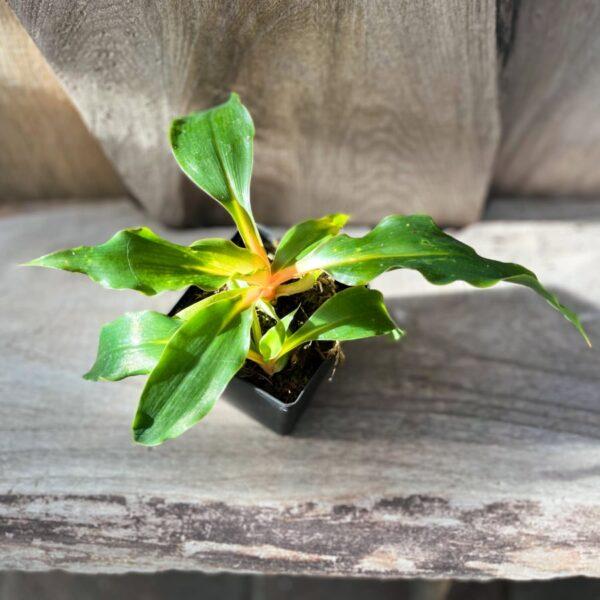 Chlorophytum amaniense 'Mandarin', stickling