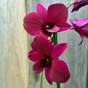 Dendrobium Thailand Black, blommor