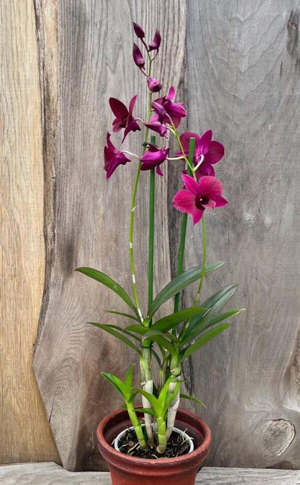 Dendrobium Thailand Black, med två stänglar