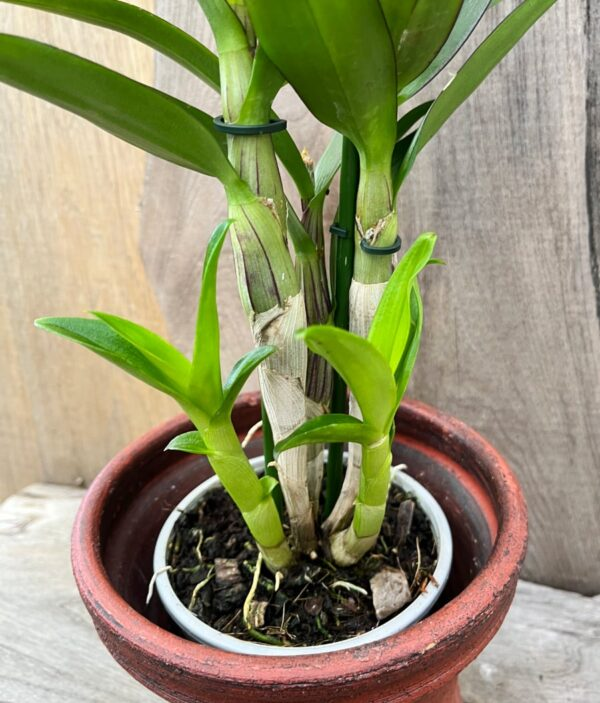 Dendrobium Thailand Black, skott
