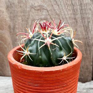 Ferocactus latispinus, ung planta