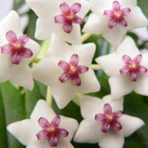Hoya bella, blommor