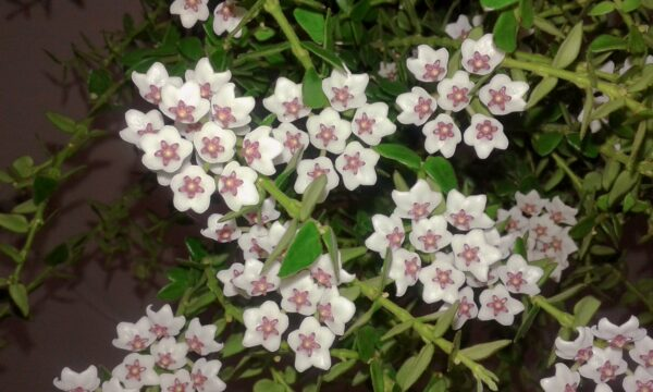 Hoya chinghungensis, blommor