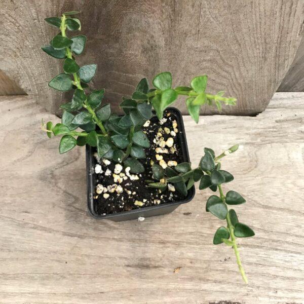 Hoya chinghungensis, stickling
