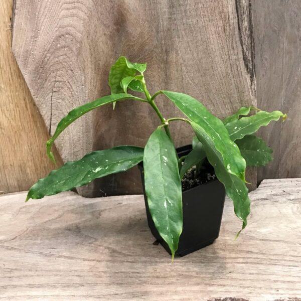 Hoya lockii, stickling