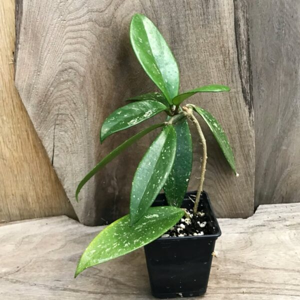 Hoya pubicalyx 'Fresno Beauty', stickling