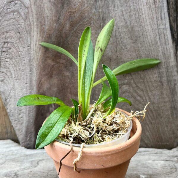 Masdevallia barlaeana, ung planta