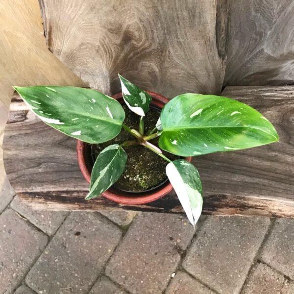 Philodendron White Princess 'Half Moon', vuxen planta