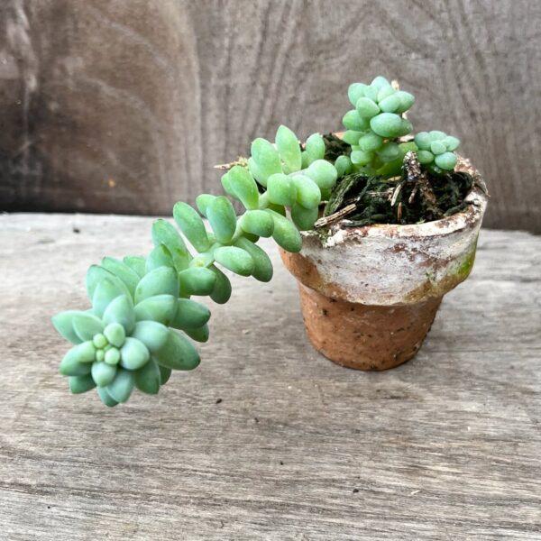 Sedum morganianum 'Burrito', ung planta