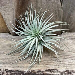 Tillandsia Silver, vuxen planta
