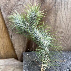 Tillandsia andreana, större vuxen planta