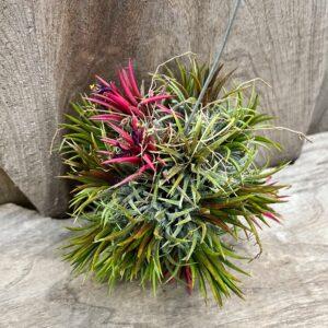 Tillandsia art, rödgrön, boll